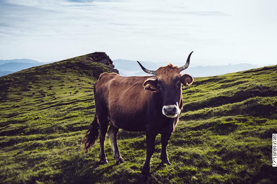 פרה באחו ירוק