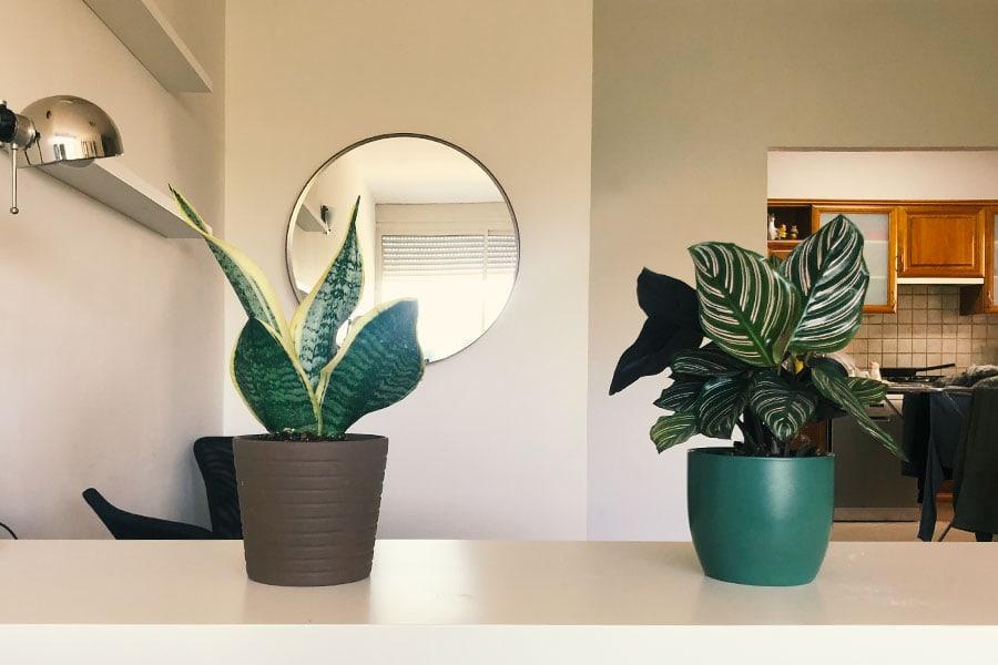 קלתיאה וסנסיווריה, צמחי בית