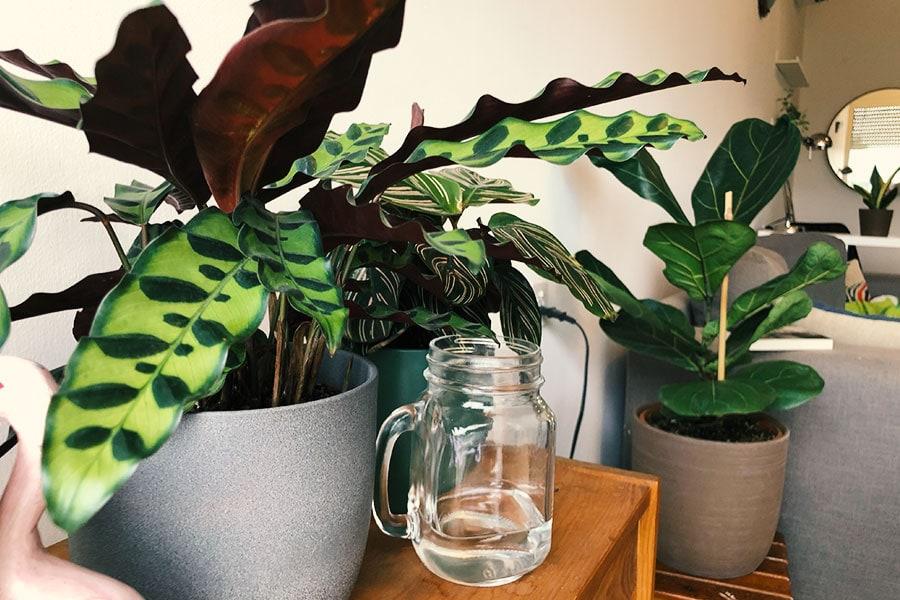 קלתיאה אינסיגניס, צמחי בית